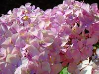 Pink Hydrangea Floral Blossoms