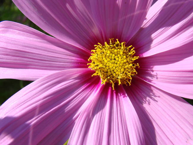 Daisy flower macro pink purple daisies by baslee troutman fine art daisy flower macro pink purple daisies by baslee troutman fine art prints mightylinksfo