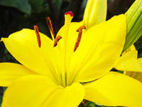 Lily Flower Yellow Lilies art prints Floral