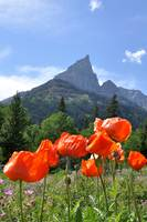 Alpine Poppies, Waterton Lakes Park