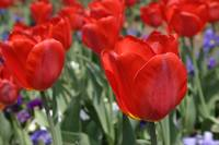 RRT - Really Red Tulips