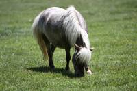 AdultMiniatureHorse_08