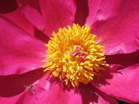 Flowering Red Peony With Yellow Center