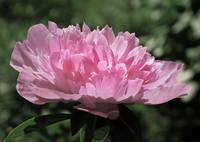 Flowering Peony Pretty in Pale Pink