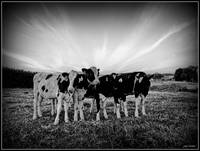 the cows love to have thier picture taken.