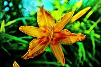 Yellow and Orange Asiatic Lily