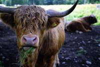 contented coo