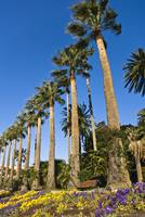 Palmiers - Palm trees - Beaulieu - French Riviera
