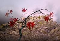 Autumn Maple Tree Landscape