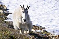 Mountain goat nanny in Mt Rainier National Park