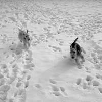 B&W Phyllis & Hogan Chasing in the Snow