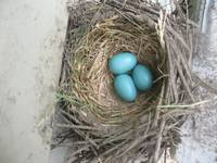 Robins Nest Eggs 1
