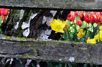 Tulips and Fence
