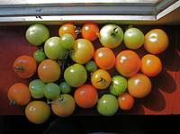 Tomatoes ripening on a ledge