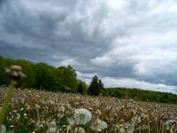 Field of Dandelions & Dramatic sky