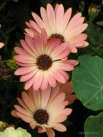 Three African Daisies