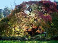 Glorious tree in the Arboretum