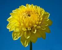 Yellow Dahlia and Blue Sky