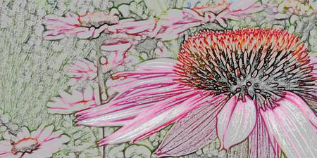 Echinacea (colored pencil)