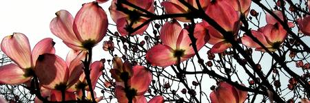 Pink Dogwood by Mike Brown