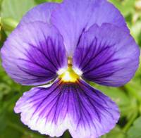purple and white flower 1