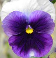 purple and white flower  2