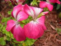 pink and white flowers 5