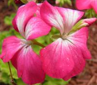 pink and white flowers 6