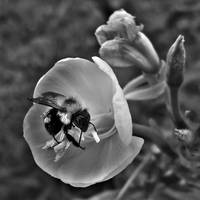 Bumble Bee On Evening Primrose (B & W)