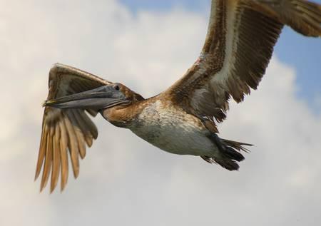 Pelican by Kris Wiktor