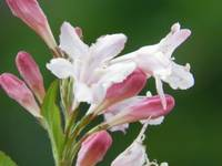 pink and white flower 7