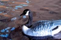 Canada Goose in Winter