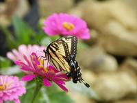 Dancing butterfly on summer flowers
