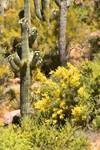 """Saguaro Blossoms by James """"BO"""" Insogna"""