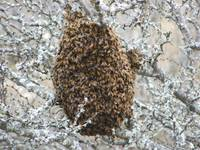 Swarm of Honey bees