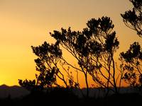 Sunset with the silhoutte of a desert bush