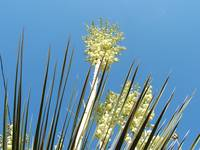 A blooming yucca