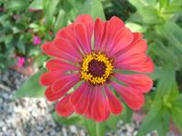 Large Red zinnia flower