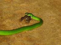 Green Mamba and Frog