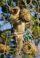 Vervet Raiding a Weaver Bird Nest