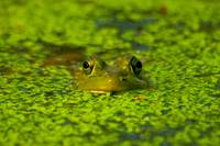 Green Frog, Green Pond