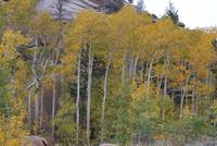 Land of Gold Aspens