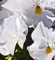 White Pansies  054