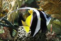 Angel Fish Swimming