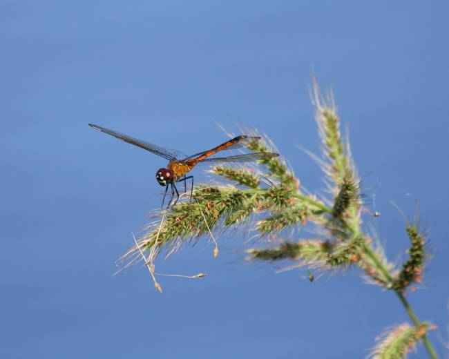St. Johns Dragonfly