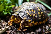 ROAMING BOX TURTLE