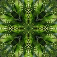 Palm Frond Kaleidoscope 1