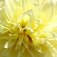Dahlia Flower_Mellow Yellow_0011 Art Prints & Posters by Kimberly C. Park