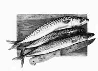 Fresh mackerels