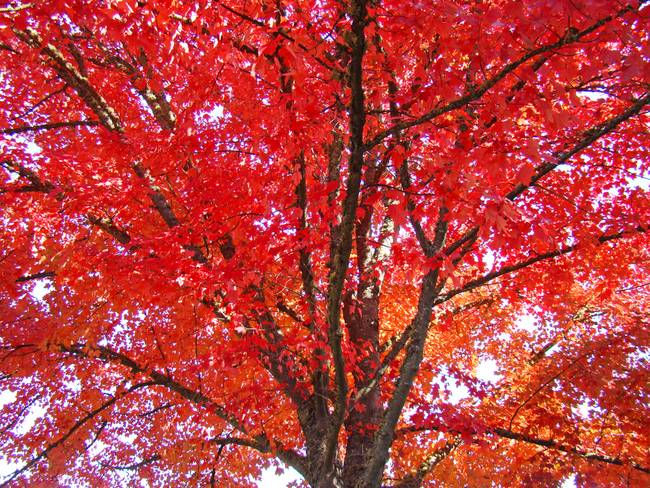 Autumn Trees Art Prints Fall Trees Leaves By Baslee Troutman Fine Art Prints